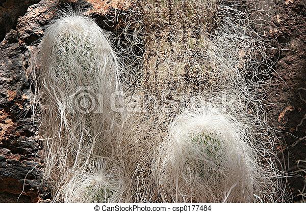 Grandfather Cactus - csp0177484