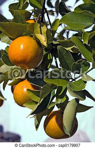 Florida Tangerines - csp0179907