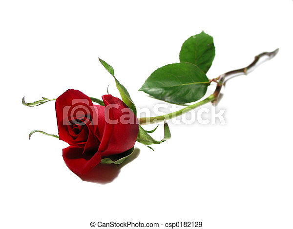 Red rose white background - csp0182129