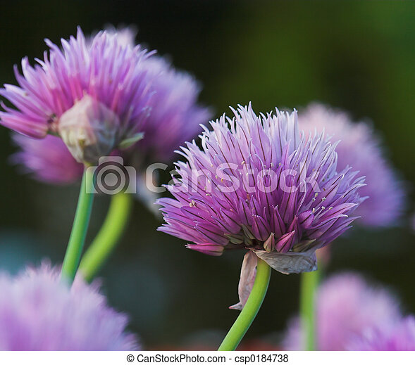 Chive Blossoms - csp0184738