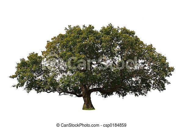 大, 樹 - csp0184859