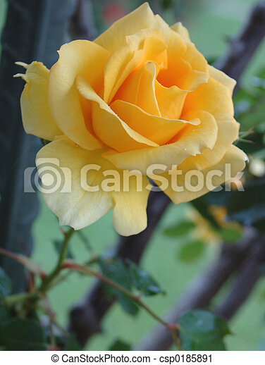 yellow rose - csp0185891