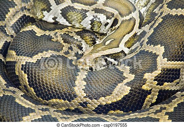 Coiled Burmese Python (Python molurus bivittatus) with beautifully patterned scales.