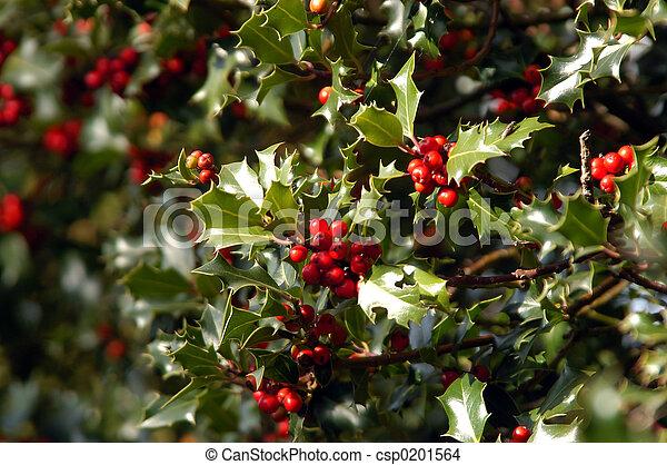 Holly bush - csp0201564