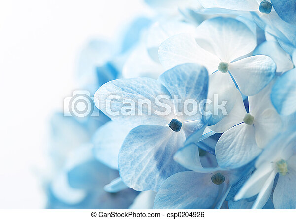 Hydrangea Flowers Ba - csp0204926