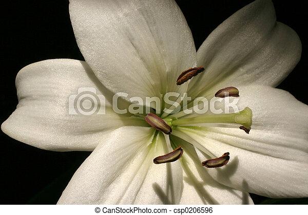 lirio blanco - csp0206596