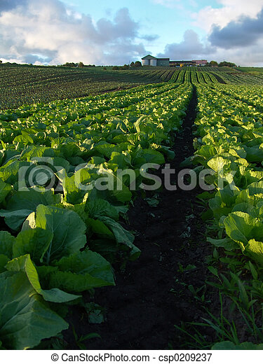 Cabbage Crops - csp0209237