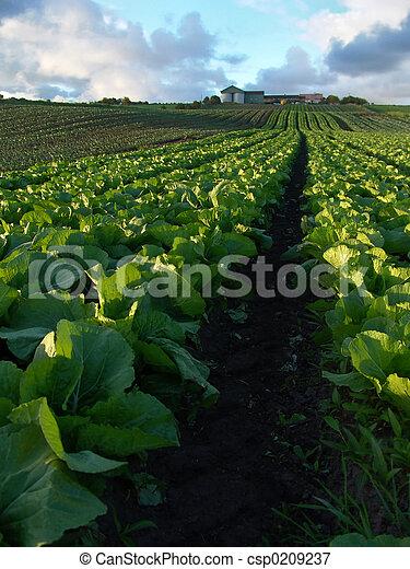 Cabbage Crops - csp0209237