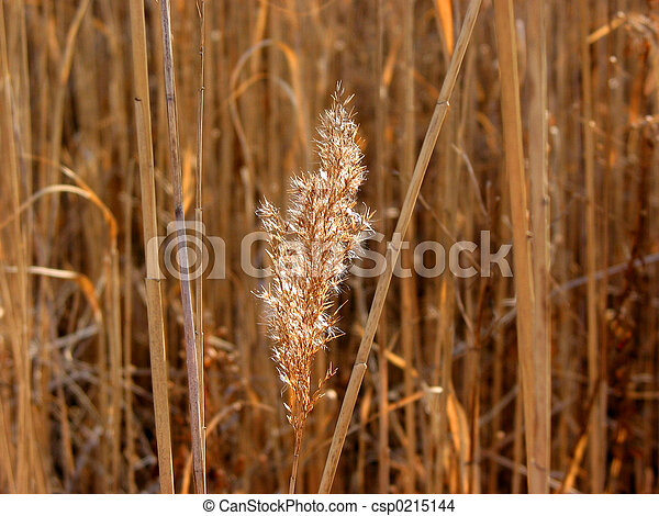 Dry grass reed sunlit - csp0215144