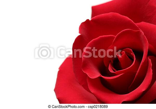 red rose - csp0218089