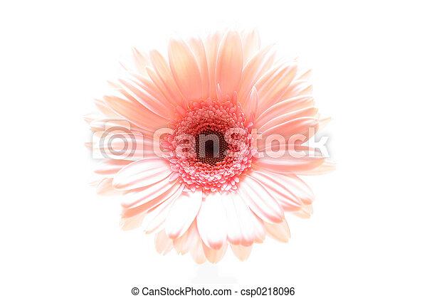 pink daisy highkey - csp0218096