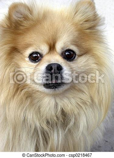 Cautious Pomeranian - csp0218467