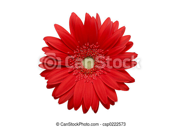 red daisy isolated - csp0222573