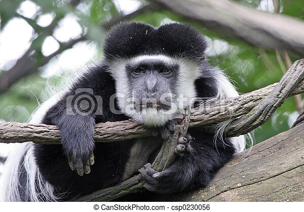 Lazy Colobus Monkey - csp0230056