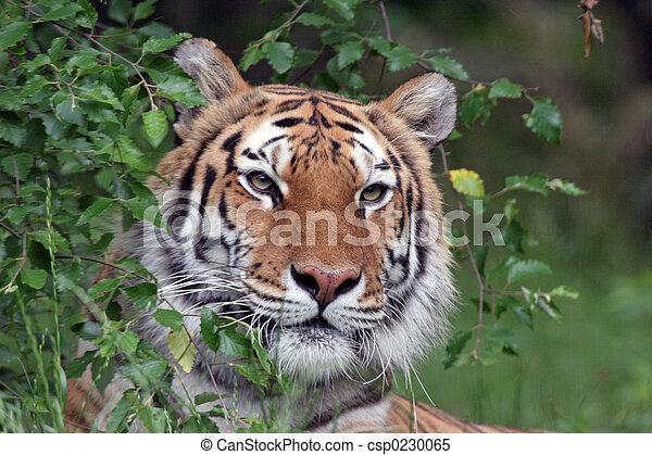 tiger, 肖像, 西伯利亞 - csp0230065