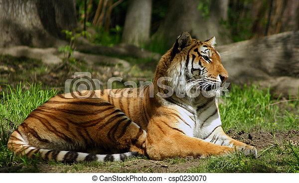 Siberian Tiger - csp0230070