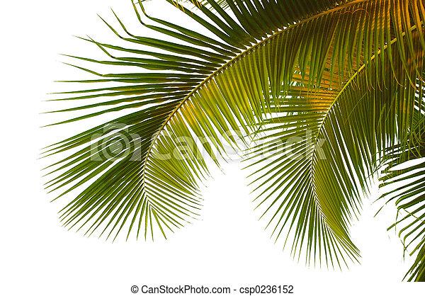 Coconut palm fronds - csp0236152