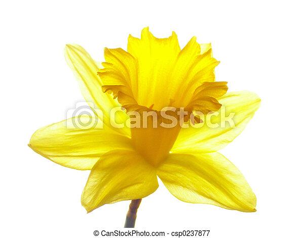 easter daffodil - csp0237877