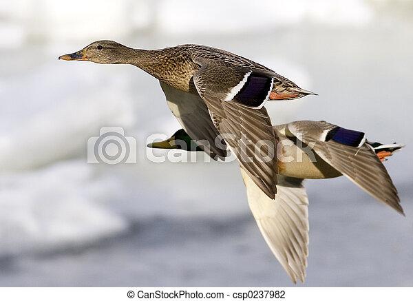 Mallards in flight - csp0237982