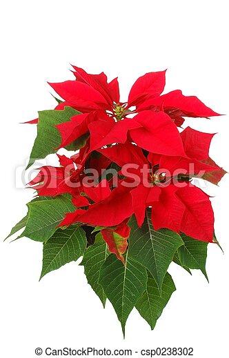 Poinsettia - csp0238302