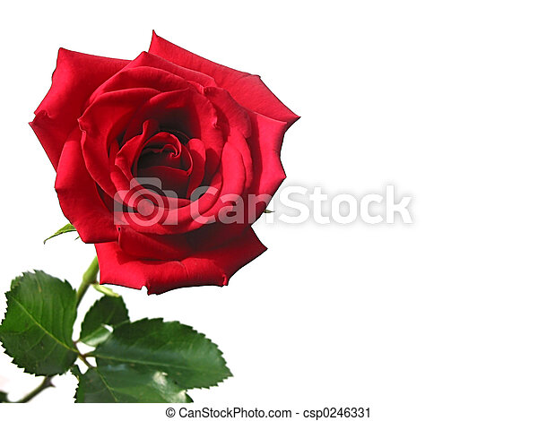 Red rose - csp0246331