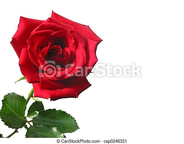 Red rose - csp0246331