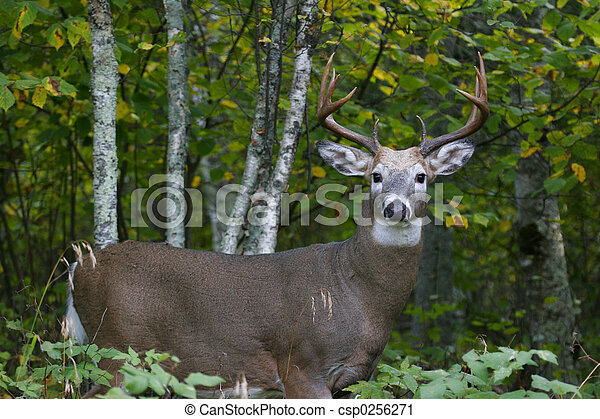 a white tailed buck standing in the forest
