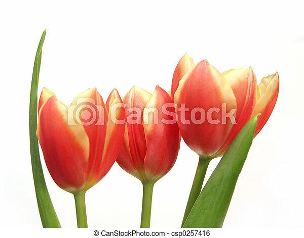tulip trio - tulipa gesneriana - csp0257416
