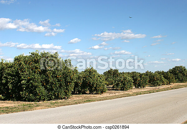 Orange Groves In Florida - csp0261894