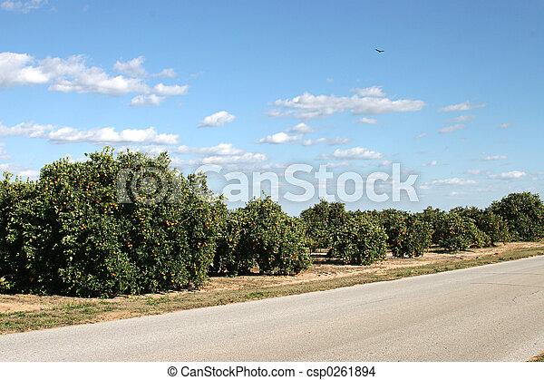 Orange Groves In Florida - csp0261894