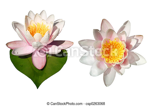 Waterlily Flowers Isolated - csp0263068