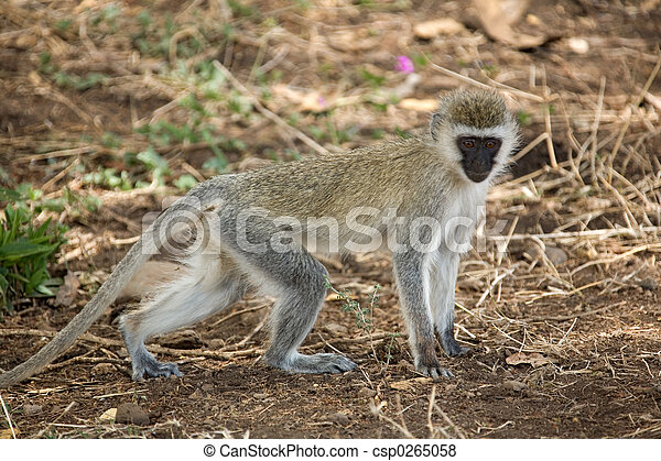 083, állatok, majom - csp0265058