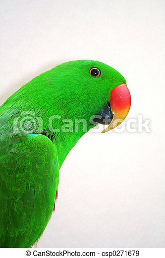 Eclectus Parrot - csp0271679
