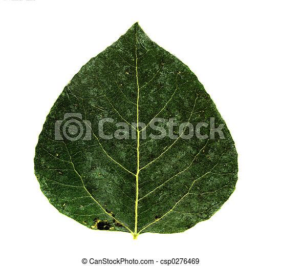 aspen leaf - csp0276469