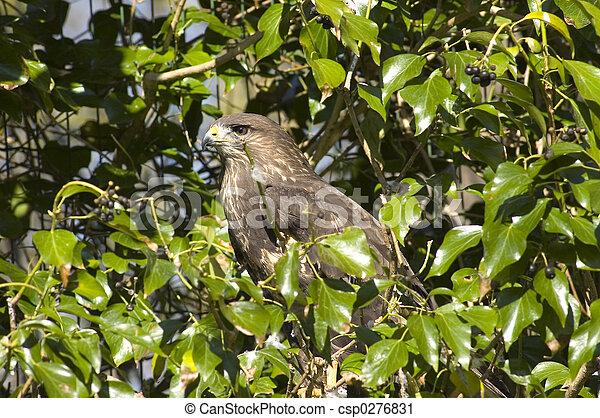 Eagle Hawk. - csp0276831