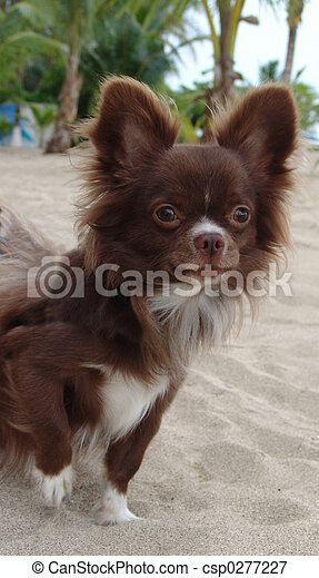 Chihuahua, dog, animal, hound, pet, canine, puppy - csp0277227