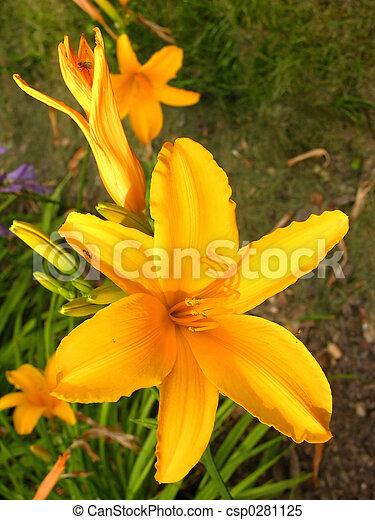 flower yellow azalea - csp0281125