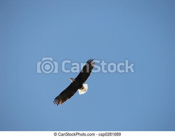 águia, voando - csp0281689