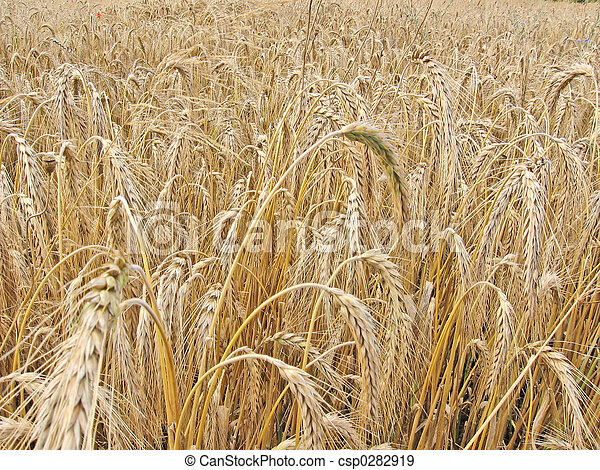 field of wheat 1 - csp0282919