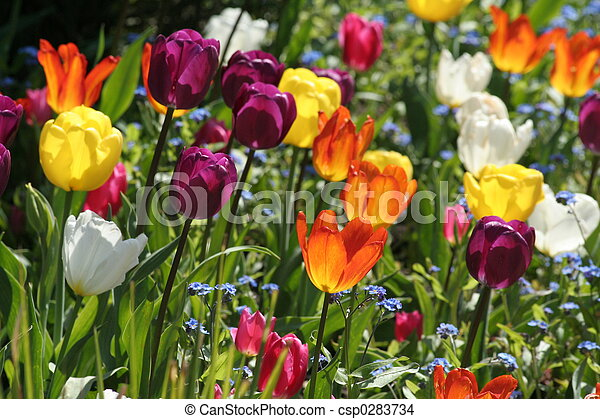 beautiful tulips  - csp0283734