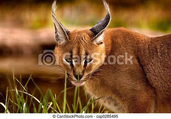 Animal - Caracal  - csp0285495