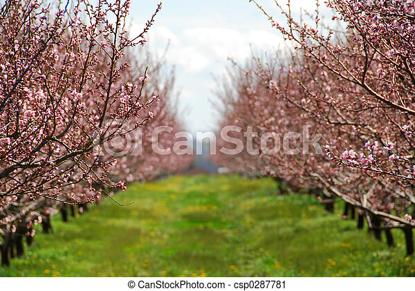Blooming peach orchard - csp0287781