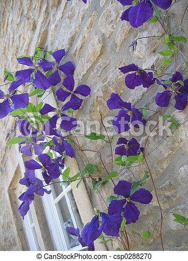 Archivi fotografici di viola pianta rampicante viola for Pianta fiori viola