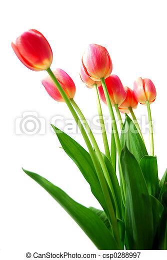 Pink tulips - csp0288997