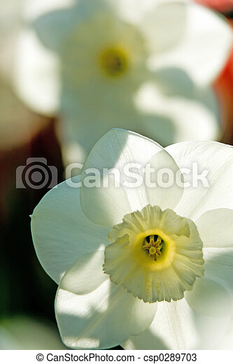 Spring daffodils - csp0289703