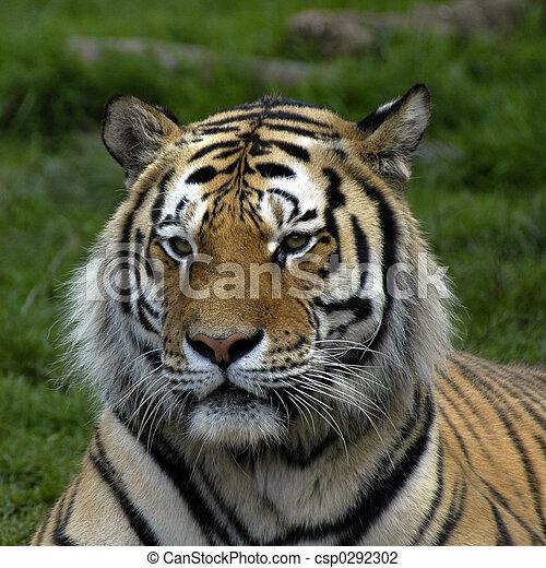 tiger - csp0292302
