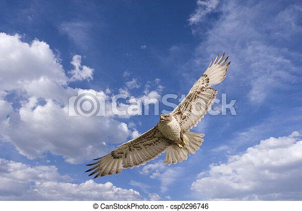Hawk flight - csp0296746