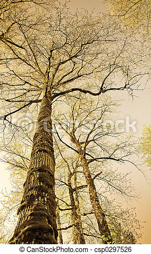 Sepia colored old trees photographed from below in a forest area with the sky at the background . - csp0297526
