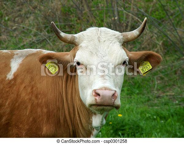 Cow look - csp0301258