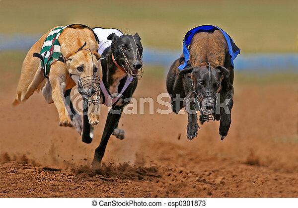 Sprinting greyhounds - csp0301873